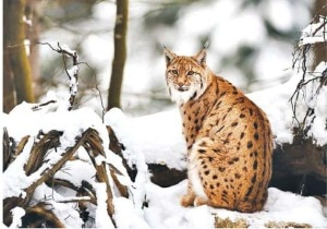 The big cats are also in the verge of extinction. Photo: Agency