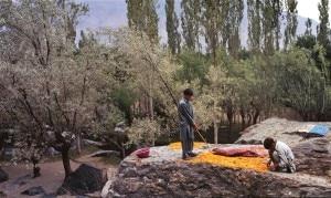 Coltivazioni di albicocche in Pakistan, nel parco del Karakorum