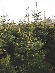 Alberi di Natale (Photo Hinrich courtesy of Wikimedia Commons)