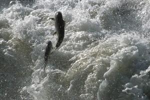 Salmoni (Photo Michel Roggo courtesy www.wwf.ch)