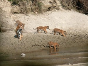 In this file photo, tigers roaming inside the Bardiya National Park located at the southern region of Nepal. Photo:WWF