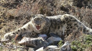 The snow leopard was captured using a modified Aldrich foot snare equipped with satellite/VHF trap transmitters, which is a tried and tested means. The snow leopard made no during the capture. Photo: Kamal Thapa/WWF Nepal.