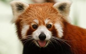 A file photo of Red panda, file photo/ NMF.