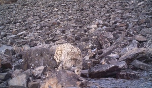In this 18 July, 2013 photo made public by DNPWC, an adult snow leopard roaming at Annapurna Conservation Area (Jomsom-Muktinath-Lubra valley) in western Nepal. This is the fourth individually-identified snow leopard from around Mustang that was captured in one of the several cameras. Photo : DNPWC