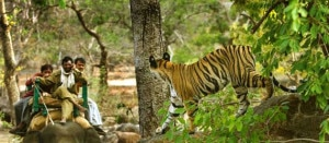 A female tiger roaming at Chitwan National Park. Photo: trekkingagencynepal.com