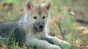 cucciolo di lupo (foto d'archivio)