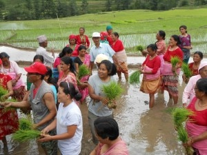 Farmers planting the paddy saplings in Kathmandu. Photo: File photo