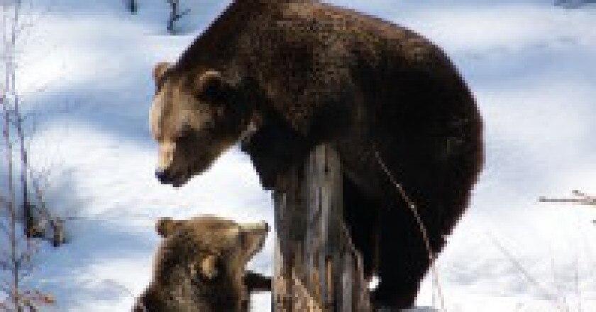 514px-Brown_Bears-200x300.jpg