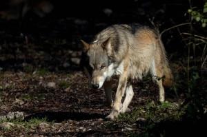 Photo of Lupo ucciso nel Parco della Majella, è stato preso al laccio