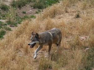 Canis_lupus_Parc_des_Loups_003-300x225.jpg