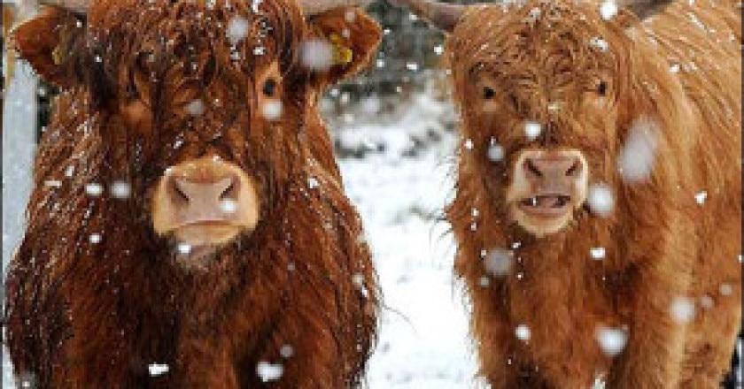Highland-cattle-scotland_photo-BBC1-300x193.jpg
