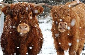 Photo of Mucche Highlander al pascolo: ecco come prevenire le valanghe