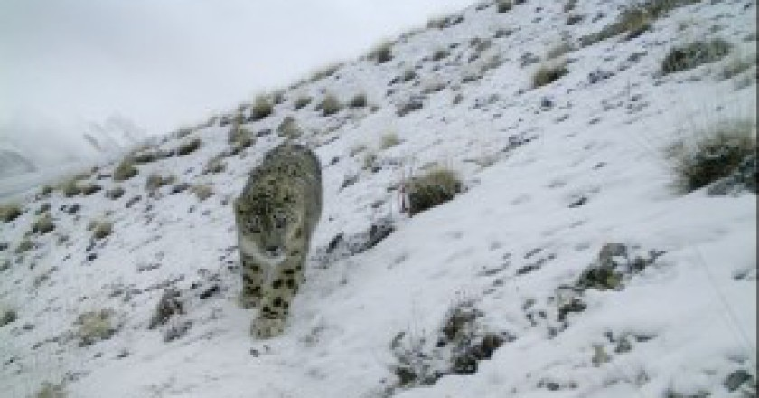 Snow-leopart-fotografato-in-Pakistan-Photo-courtesy-N.Geographic2-300x204.jpg