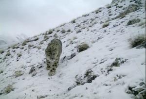 Photo of Leopardo delle nevi immortalato in Pakistan