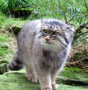 Photo of Rare Pallas' cat species trapped in Upper Mustang