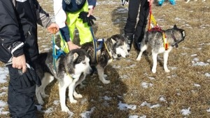 Photo of Sleddog: cadono nel lago ghiacciato, salvi due fratelli e 12 husky