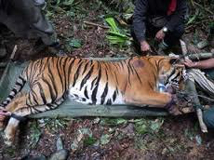 Photo of Treating the endangered tiger!
