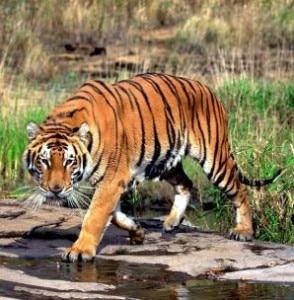 tiger-count-294x300.jpg