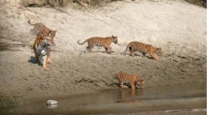 Photo of Nepal joins hands with India on tiger conservation