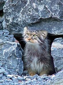 Pallass-cat-at-the-Zurich-zoo.jpg