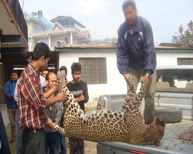 leopard_lamjung.jpg
