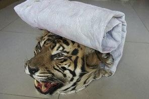 tiger_poaching.jpg