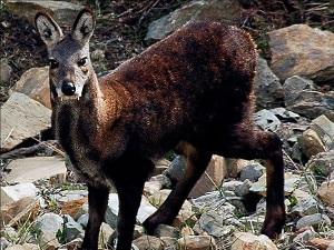 Musk-deer-300x225.jpg