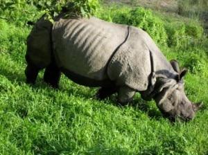 grazing-rhino-300x224.jpg