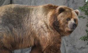 Photo of Trentino, orso sbrana un asino nella Valle dei Laghi