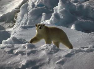 Photo of Orso Polare e Artico, spedizione scientifica del Wwf sulle Isole Svalbard