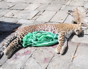 One of the four leopards that died after consuming poisoned meat. Photo: republica