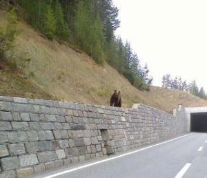 Photo of Svizzera, petizione del Wwf per proteggere l'orso M25