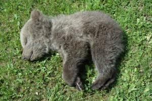 Photo of Cucciolo di orso trovato morto sulle Dolomiti del Brenta