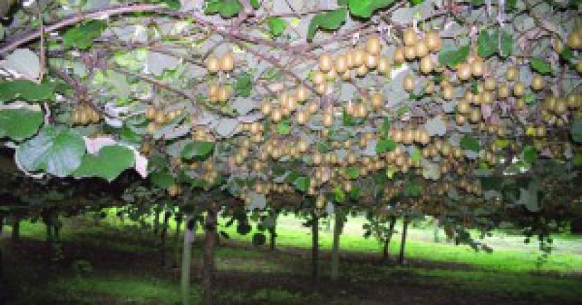 Kiwifruit-Actinidia_deliciosa-plantation-300x205.jpg