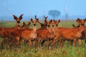 A herd of swamp deer. Image: Image source: lamakarma.net
