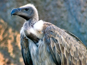 white-backed-vulture-300x225.jpg