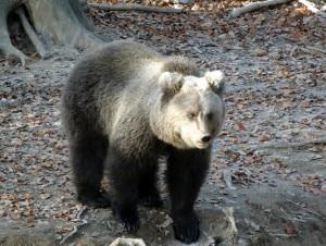 Photo of Danni dell'orso sull'altopiano di Asiago, intervengono Coldiretti e Regione