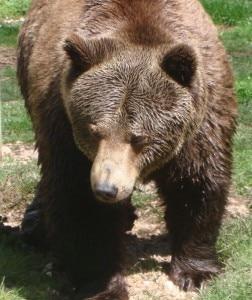 Photo of Orso marsicano di 14 anni trovato morto nel Parco d'Abruzzo