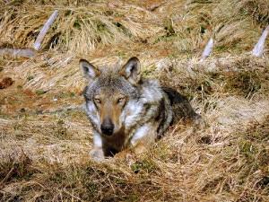Photo of Faccia a faccia con il lupo in Alta Val di Non