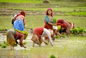 With the onset of monsoon farmer start planting rice in the agricultural country. Image source:dailymail.co.uk