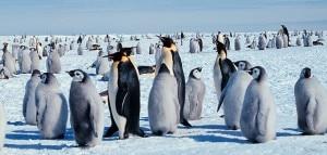 Pinguini imperatore con i piccoli (Photo courtesy of Wikipedia.org)