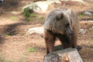 Photo of M4 sull'altopiano di Asiago, Wwf: troppo facile prendersela con l'orso