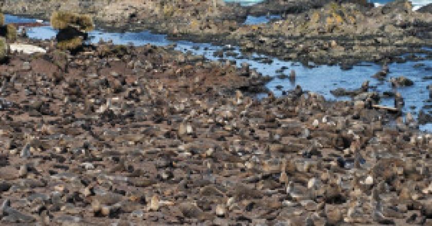 fur-seal-colony-bird-island-jaume-forcada-300x199.jpg