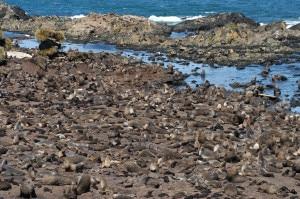 Photo of Cambiamenti climatici minacciano le otarie orsine antartiche