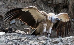 vulture-300x181.jpg