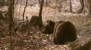 Photo of Uccisa l'orsa Daniza: è morta durante la cattura. La Forestale avvia un'inchiesta