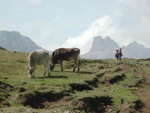 Photo of Svizzera, due donne ferite da mucche al pascolo