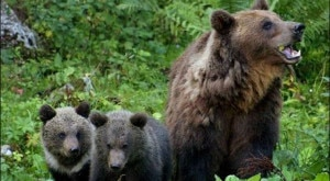 Photo of Troppi orsi in Trentino? La gente non sa di cosa parla. Intervista a Mauro Belardi del Wwf