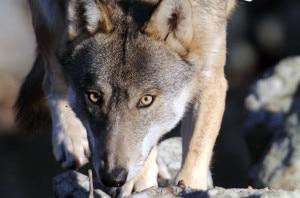 Photo of Quanti lupi sulle Alpi? Censimento al via il prossimo inverno