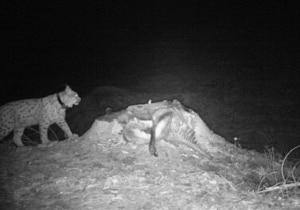Photo of Non solo orsi in Trentino: avvistati lince e lupa nel mese di ottobre